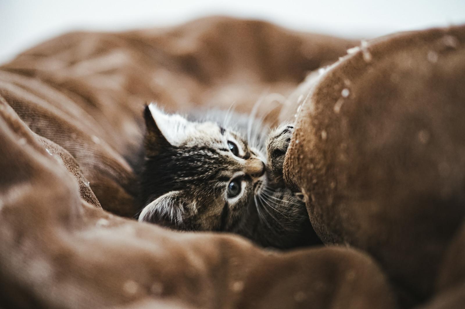 毛布にくるまる子猫の写真