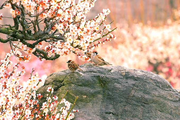 梅と鶯の写真